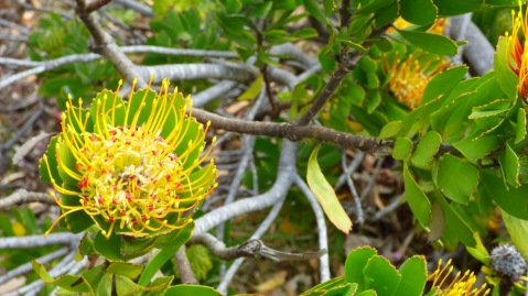 A little yellow protea