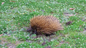 A little echidna trying to get away from me.