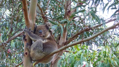 Koala photographed in the Western KI Caravan Park