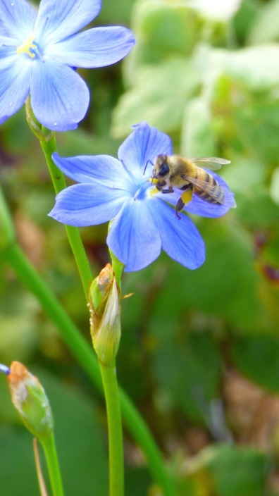 I thin this is a Ligurian Bee
