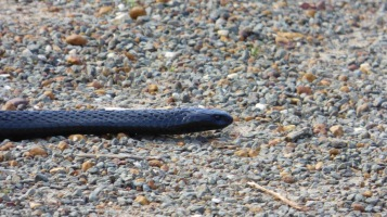 What snake is this? Perhaps a Black Tiger Snake?