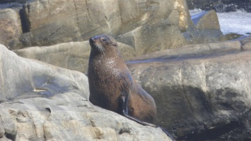 Beautiful New Zealand Fur Seal looking for a warm rock to lay on