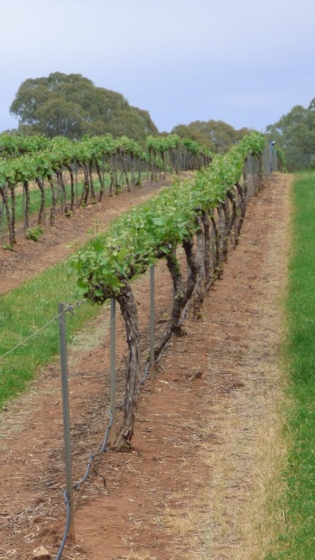 Not so ancient vines