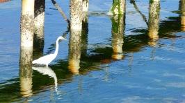 Eastern Great Egret (White Heron) stalking food