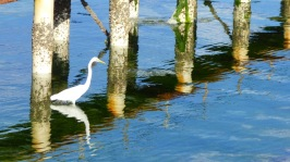 Eastern Great Egret (White Heron) stalking food