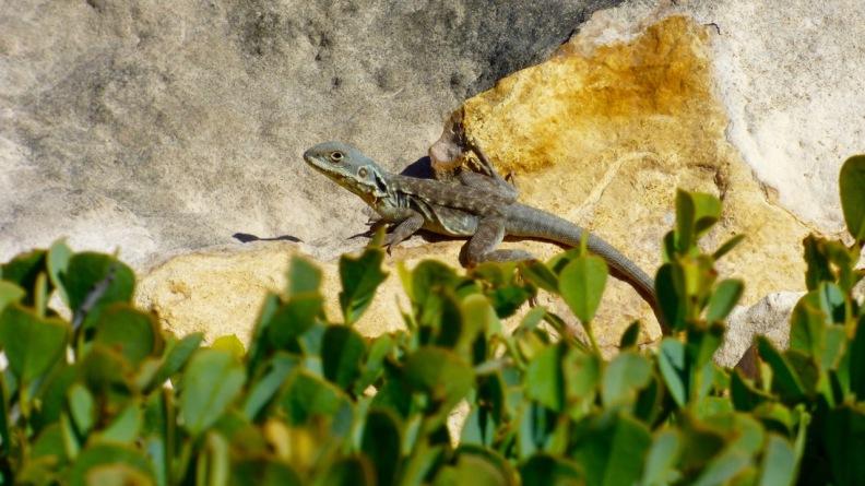 Peninsula Dragon photographed at Cummins Lookout