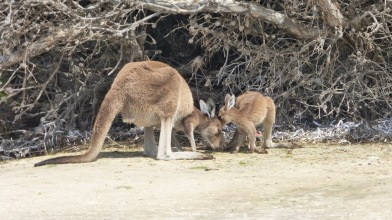 A mum with her joey on the beach at Lucky Bay