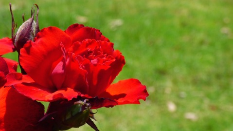 Such beautiful red roses.