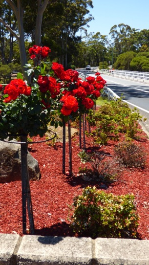 The roses along the road were so bright and beautiful.
