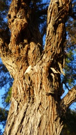 The Peppermint tree has very distinctive bark