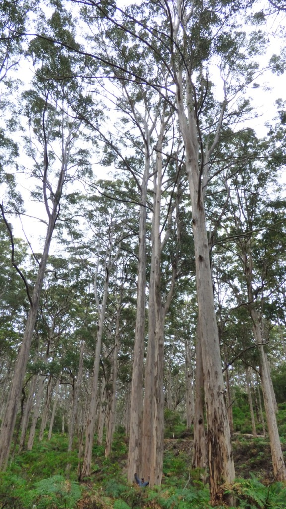 These trees are over 60 metres tall