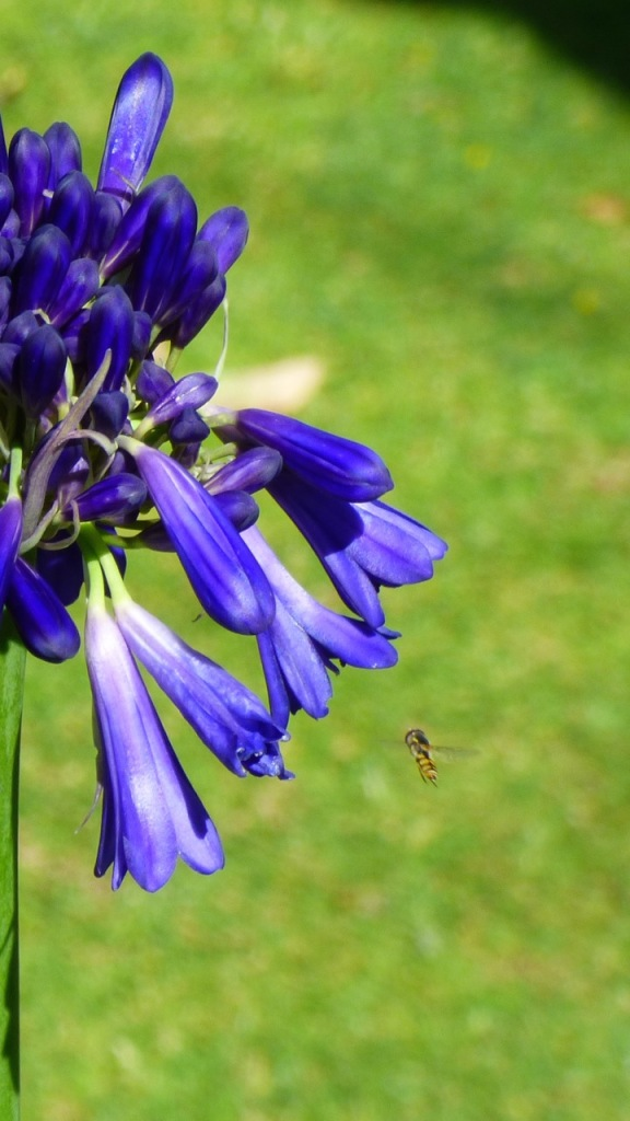 Bee coming into land on an Agapanthus flower