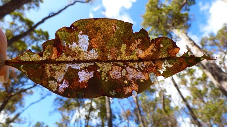Semi-eaten Eucalypt leaf