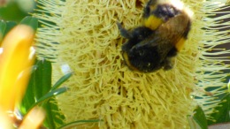 Buff-tailed Bumblebee (April 6, 2015)