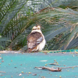The Posing Kookaburra (June 1, 2015)