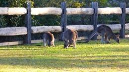 The Kangaroo Family (July 13, 2015)