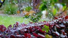 Raindrops and Shamrocks (August 24, 2015)