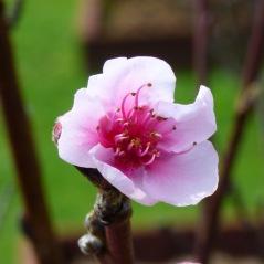 Lone Cherry Blossom (September 7, 2015)