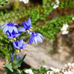 Nodding Blue Lily (September 28, 2015)