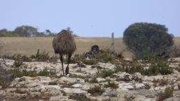 Emu at Sleaford Bay (October 26, 2015)