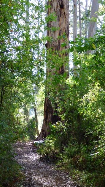Beautiful big karri tree