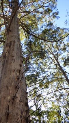 Dave Evans Bicentennial Tree