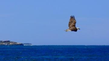Osprey on the beach