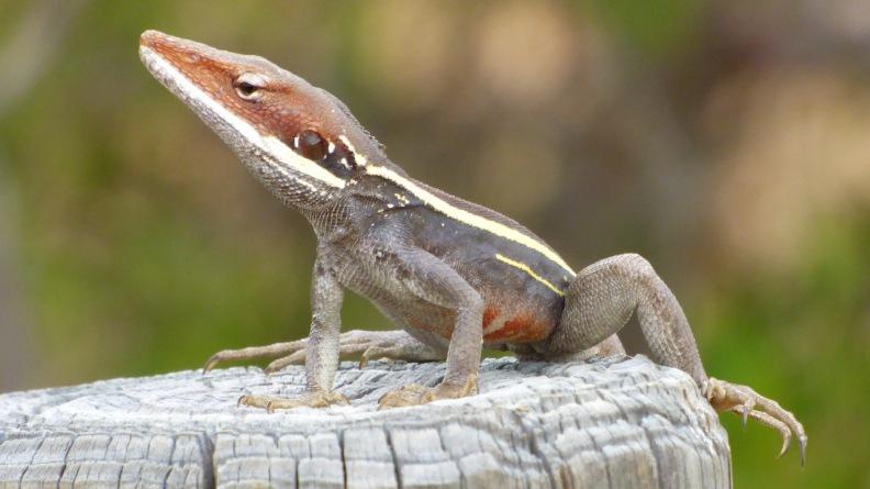 Long Nosed Dragon, Kalbarri National Park