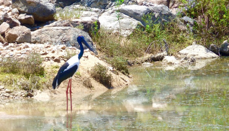 Black-necked Stork at Lake Argyle, Western Australia