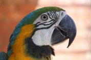 Another cutie - Blue and Gold South American Macaw