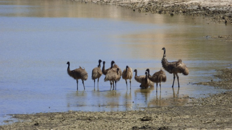 Male Emu with his mob swimming at Shark Bay