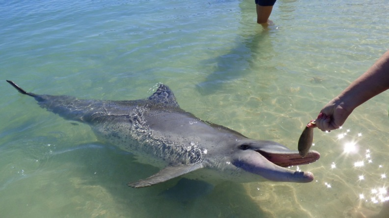 This is me feeding Puck - and Indo-Pacific Bottle-nosed Dolphin