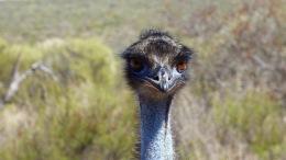 Daddy Emu