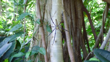 Northern Golden Orb Weaver - Queens Park
