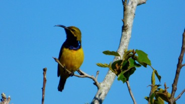 A male Olive-Backed Sunbird showing off his blue throat- Mount Stuart