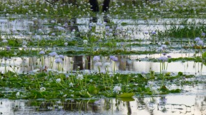The wetlands were covered in huge masses of lilies