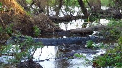 The first crocodile we saw