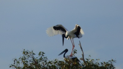 Two Black-necked Storks (Jabiru), that's the male on top of the female - see her yellow eyes?
