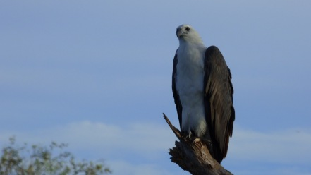 A beautiful White-breasted Sea Eagle