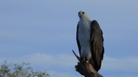 A beautiful White-breasted Sea Eagle