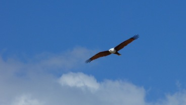 A Brahminy kite seeking fish along The Strand