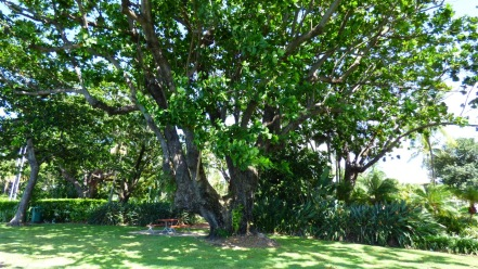 Under one of the Banyan Trees