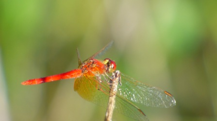 I think this might be a Scarlet Percher