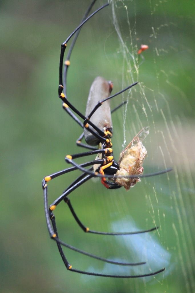 Golden Orb Spider, photographed in the Daintree National Park