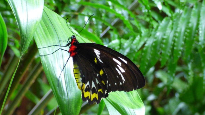 (Male) Cairns Birdwing