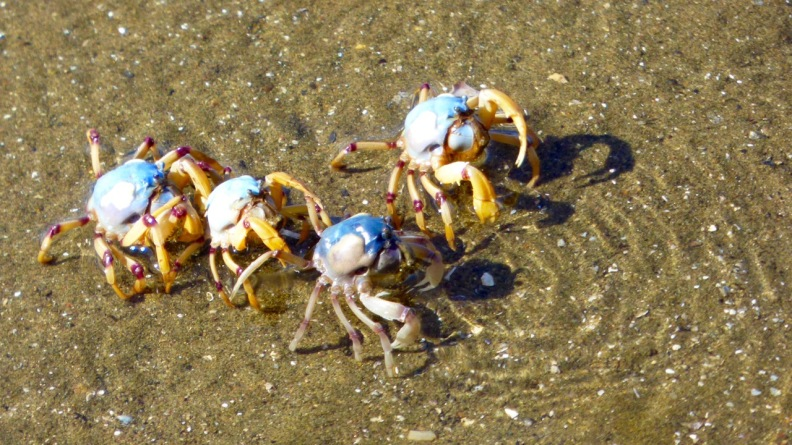 Soldier Crabs, Sandgate Beachfront