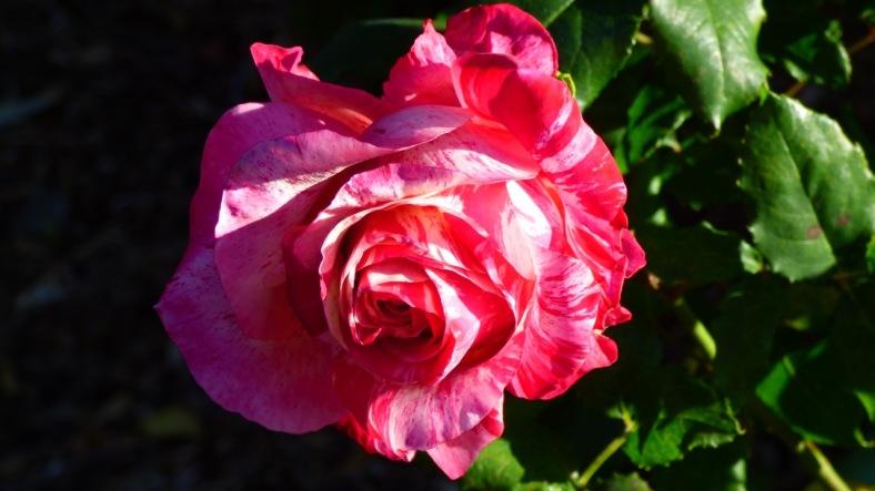 The same rose