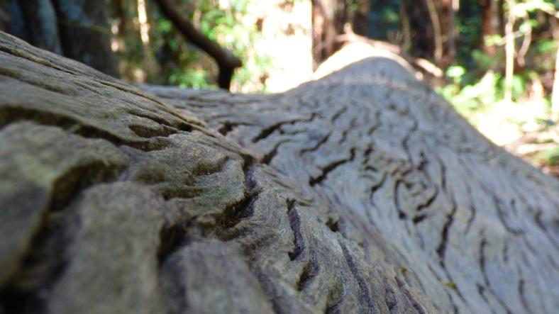 Bark pattern of a large fallen tree