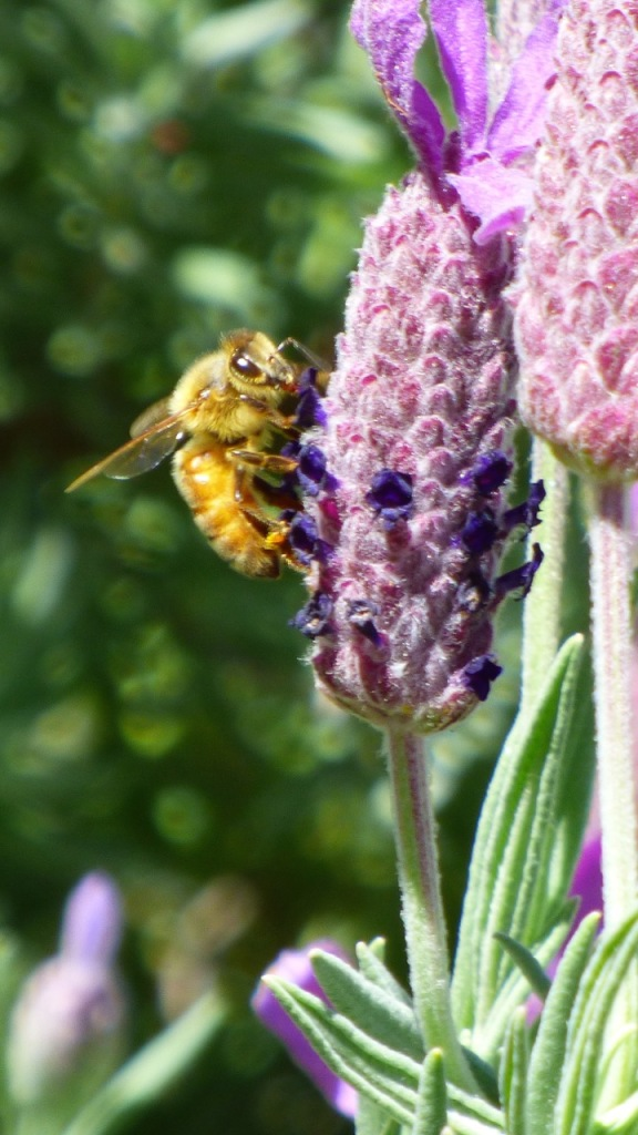 A Busy Bee on the Lavender