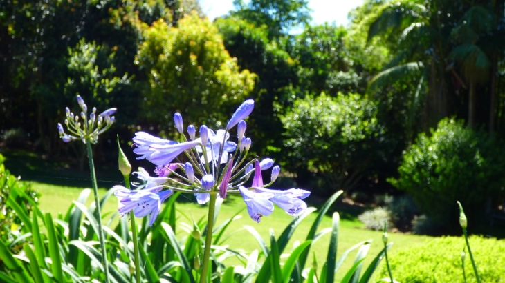The First Agapanthus